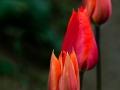Henry Heerschap - 3 Tulips