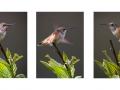 Lauren Heerschap - Hummingbird-Triptych