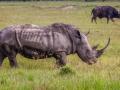 Henry Heerschap - White Rhino